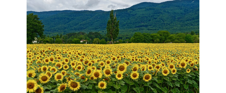 Online petitions - and sunflowers